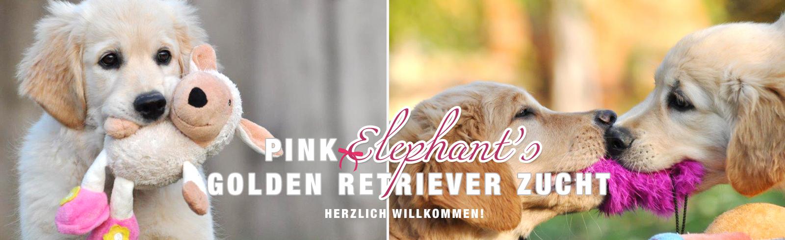 Pink Elephant S Golden Retriever Zucht Aus Oberosterreich